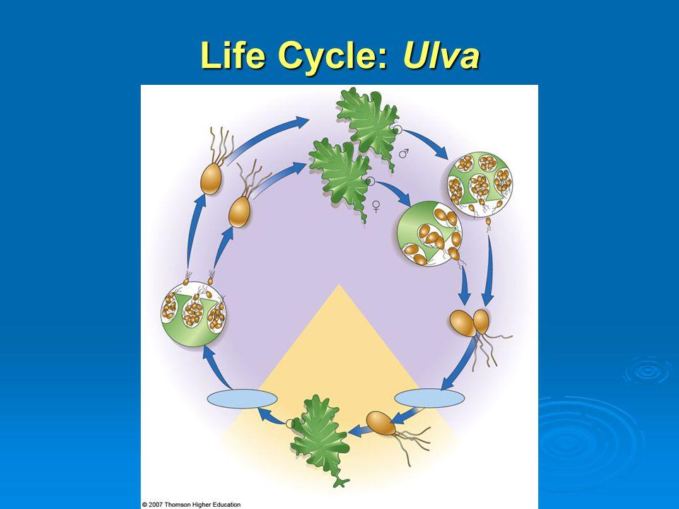 Life Cycle: Ulva