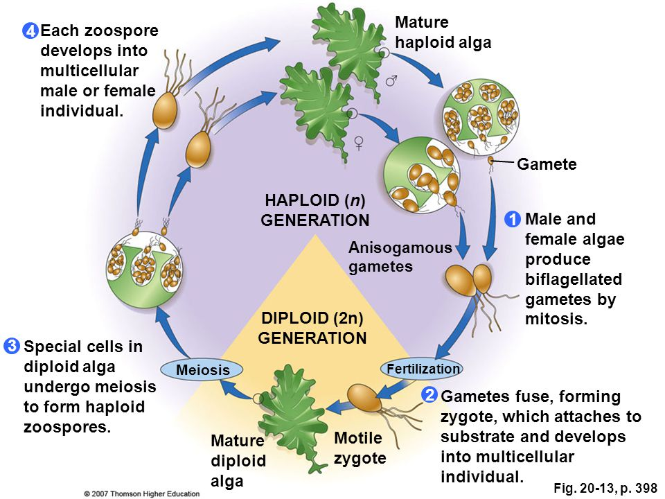 2 1 3 4 Meiosis Fertilization DIPLOID (2n) GENERATION HAPLOID (n) GENERATION Mature diploid alga Motile zygote Gametes fuse, forming zygote, which att