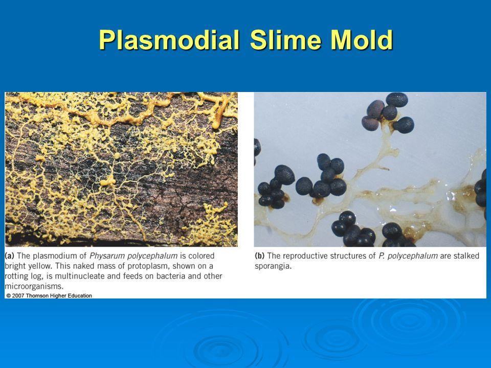 Plasmodial Slime Mold