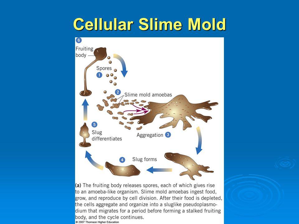 Cellular Slime Mold