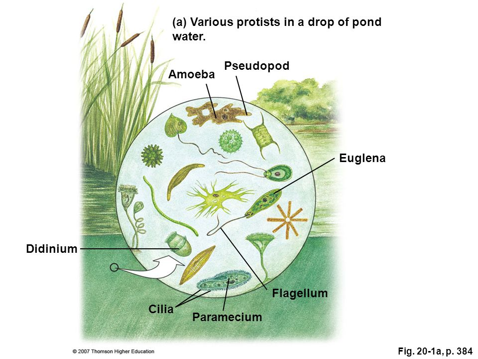 (a) Various protists in a drop of pond water.