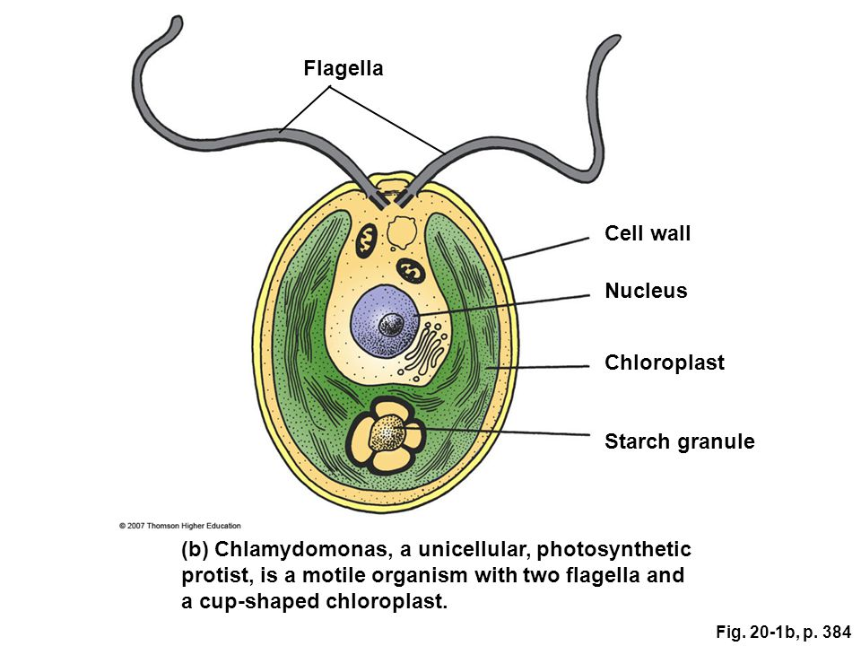 Flagella (b) Chlamydomonas, a unicellular, photosynthetic protist, is a motile organism with two flagella and a cup-shaped chloroplast. Starch granule