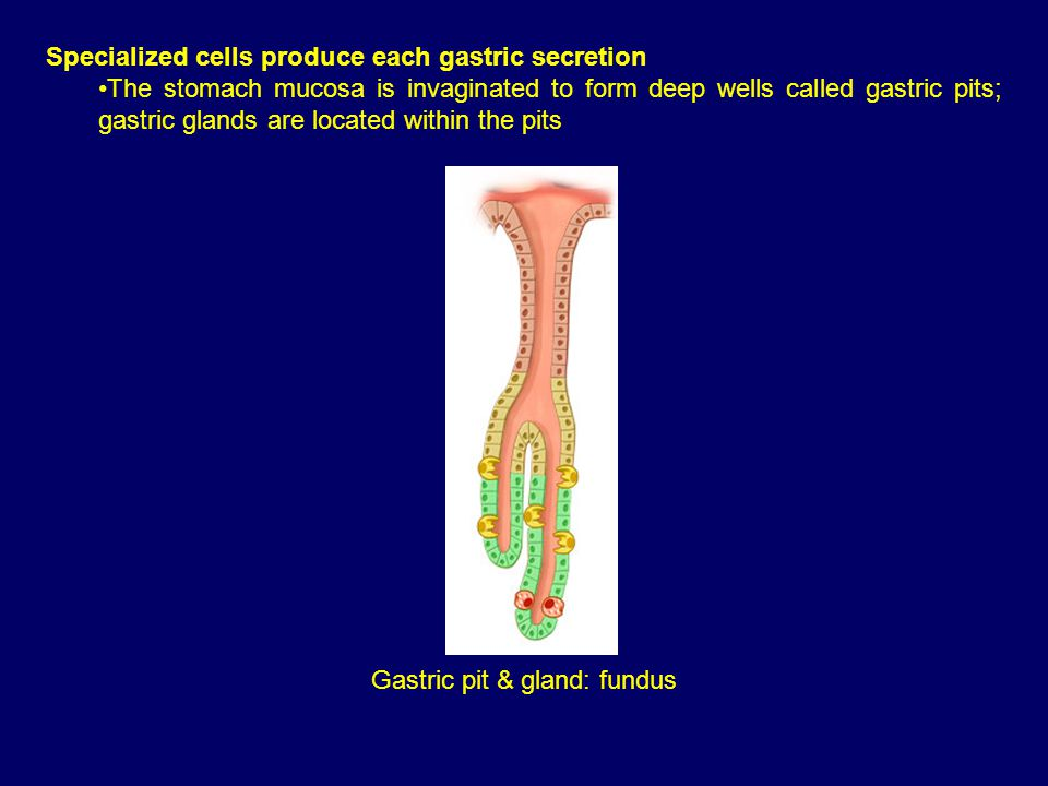 Specialized cells produce each gastric secretion The stomach mucosa is invaginated to form deep wells called gastric pits; gastric glands are located within the pits Gastric pit & gland: fundus
