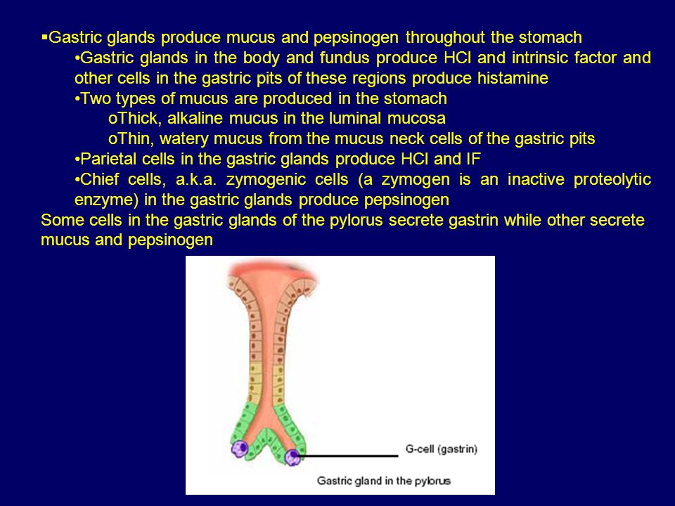  Gastric glands produce mucus and pepsinogen throughout the stomach Gastric glands in the body and fundus produce HCl and intrinsic factor and other cells in the gastric pits of these regions produce histamine Two types of mucus are produced in the stomach oThick, alkaline mucus in the luminal mucosa oThin, watery mucus from the mucus neck cells of the gastric pits Parietal cells in the gastric glands produce HCl and IF Chief cells, a.k.a.
