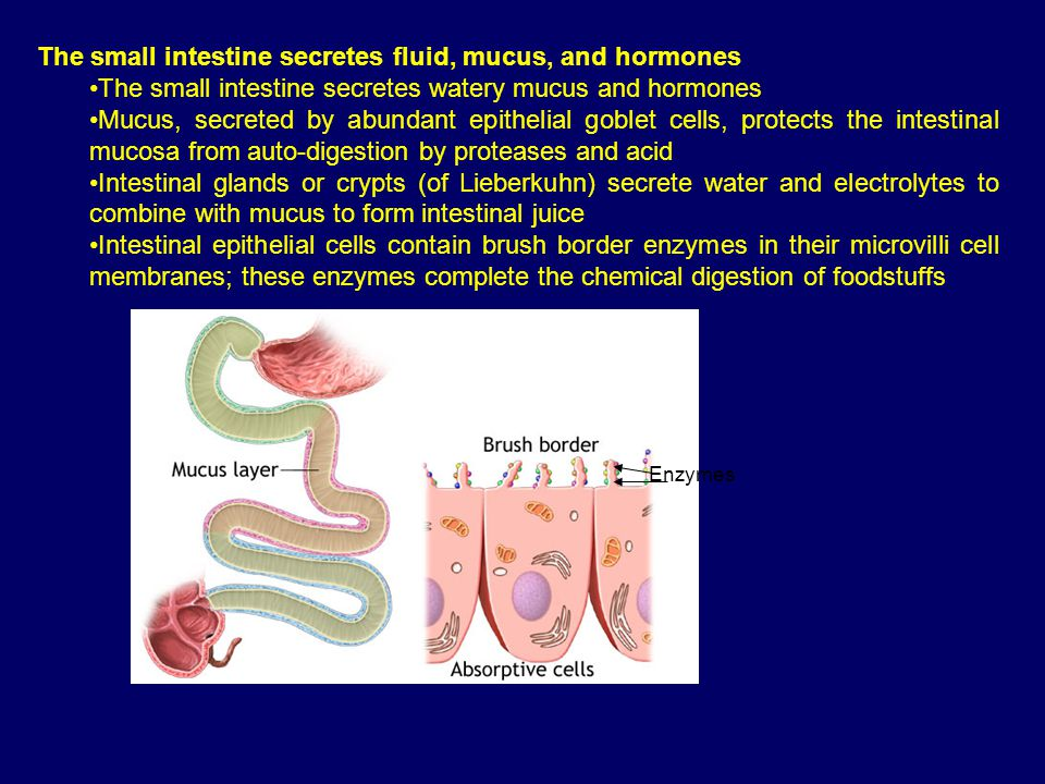The small intestine secretes fluid, mucus, and hormones The small intestine secretes watery mucus and hormones Mucus, secreted by abundant epithelial goblet cells, protects the intestinal mucosa from auto-digestion by proteases and acid Intestinal glands or crypts (of Lieberkuhn) secrete water and electrolytes to combine with mucus to form intestinal juice Intestinal epithelial cells contain brush border enzymes in their microvilli cell membranes; these enzymes complete the chemical digestion of foodstuffs Enzymes