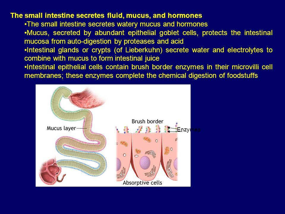The small intestine secretes fluid, mucus, and hormones The small intestine secretes watery mucus and hormones Mucus, secreted by abundant epithelial