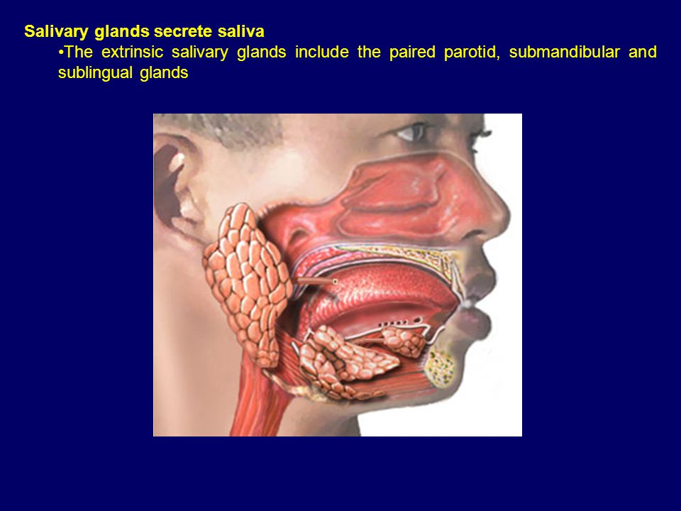 Salivary glands secrete saliva The extrinsic salivary glands include the paired parotid, submandibular and sublingual glands