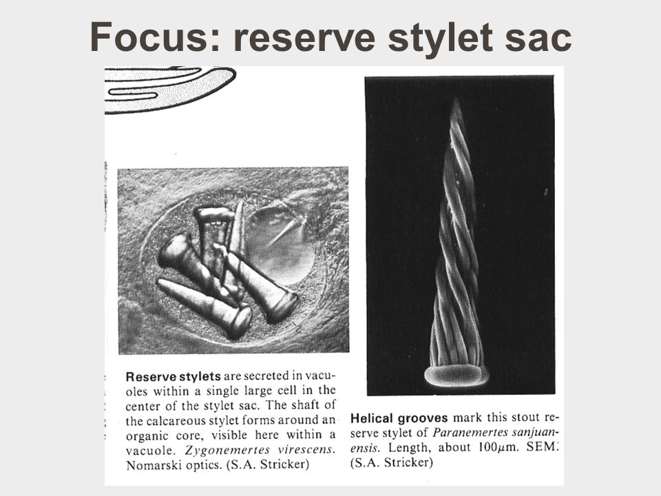 Focus: reserve stylet sac