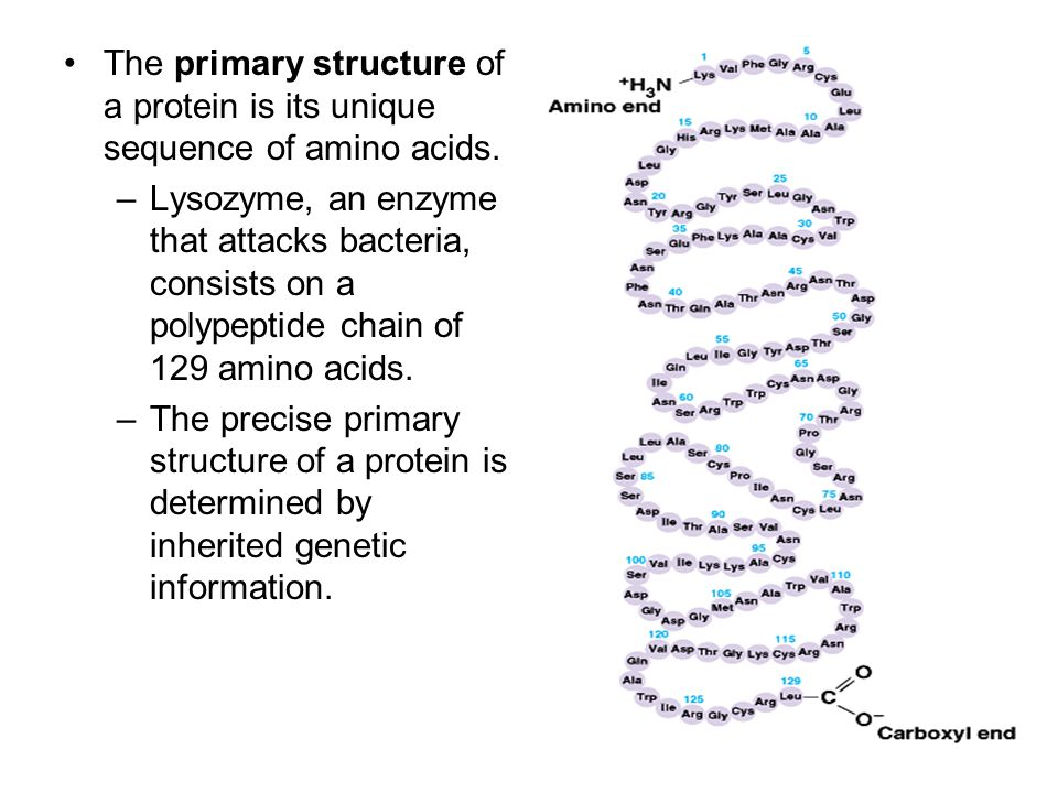 The primary structure of a protein is its unique sequence of amino acids. –Lysozyme, an enzyme that attacks bacteria, consists on a polypeptide chain