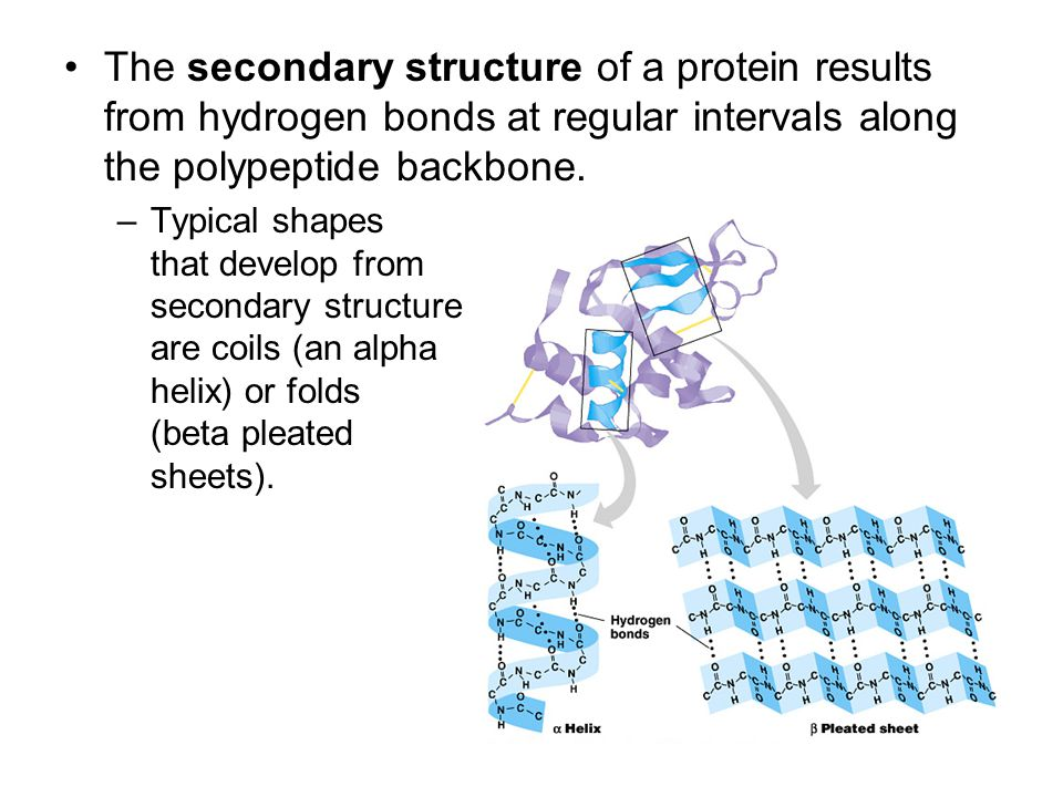 The secondary structure of a protein results from hydrogen bonds at regular intervals along the polypeptide backbone. –Typical shapes that develop fro
