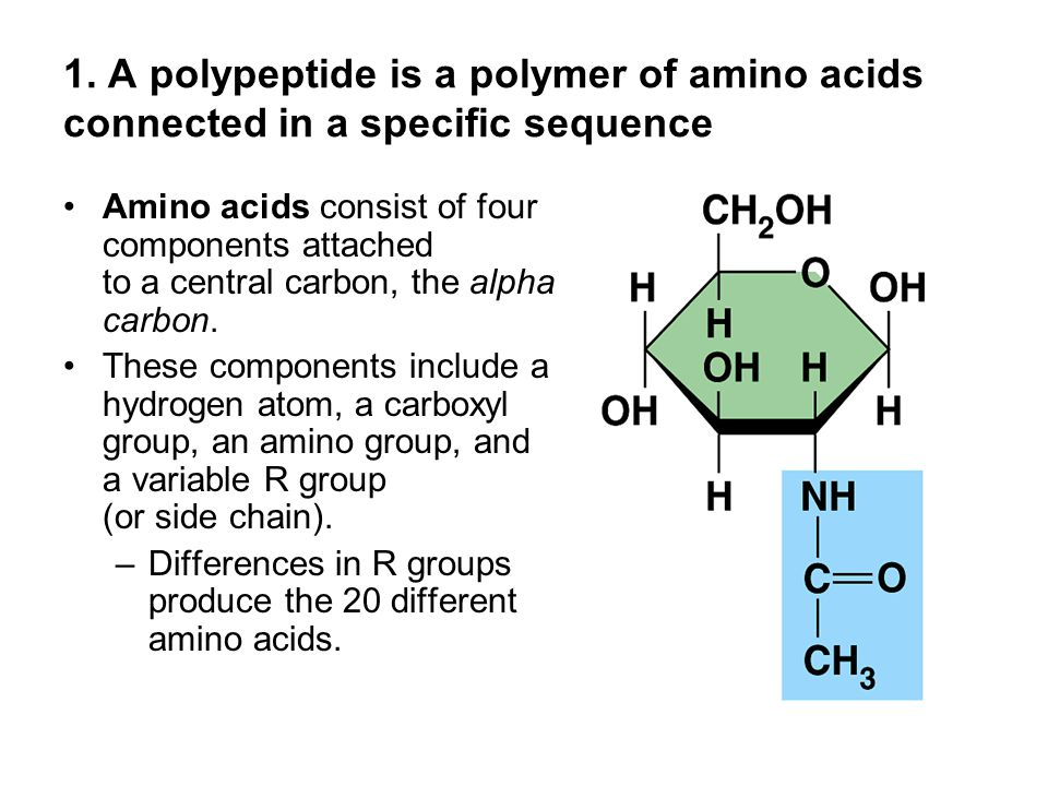 1. A polypeptide is a polymer of amino acids connected in a specific sequence Amino acids consist of four components attached to a central carbon, the