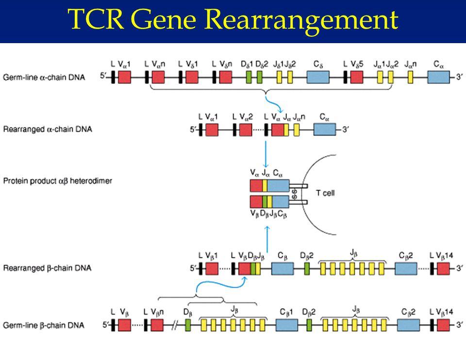15 5/9/2015 TCR Gene Rearrangement