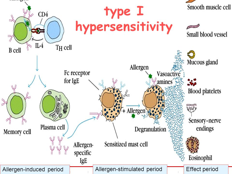 type I hypersensitivity Allergen-induced period Allergen-stimulated periodEffect period