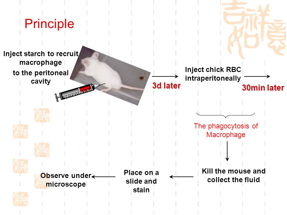 3d later Inject chick RBC intraperitoneally 30min later The phagocytosis of Macrophage Kill the mouse and collect the fluid Observe under microscope Inject starch to recruit macrophage to the peritoneal cavity Place on a slide and stain Principle