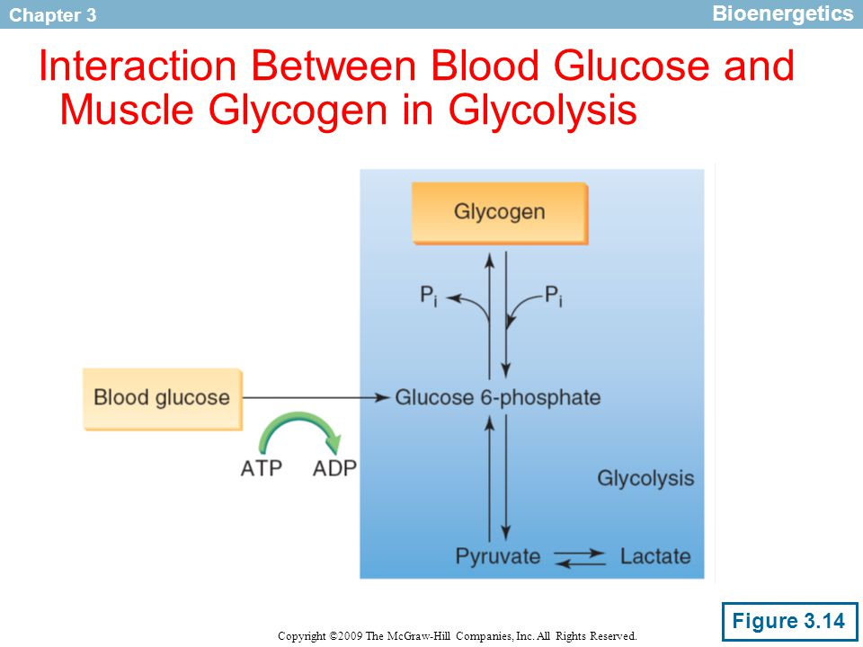 Chapter 3 Copyright ©2009 The McGraw-Hill Companies, Inc. All Rights Reserved. Interaction Between Blood Glucose and Muscle Glycogen in Glycolysis Fig