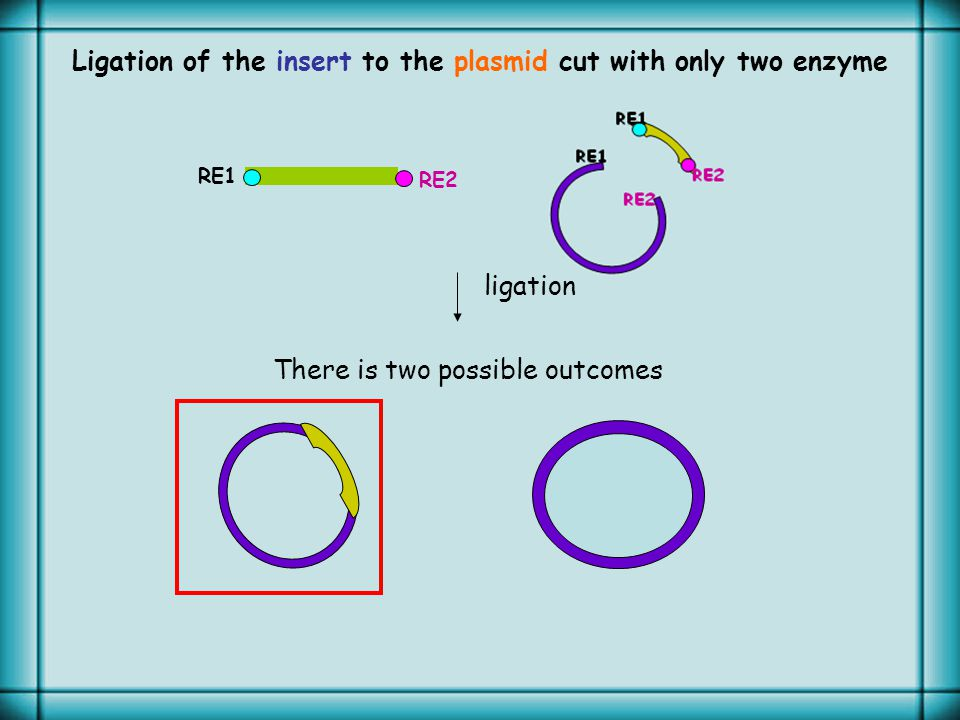 RE1 RE2 Ligation of the insert to the plasmid cut with only two enzyme ligation There is two possible outcomes