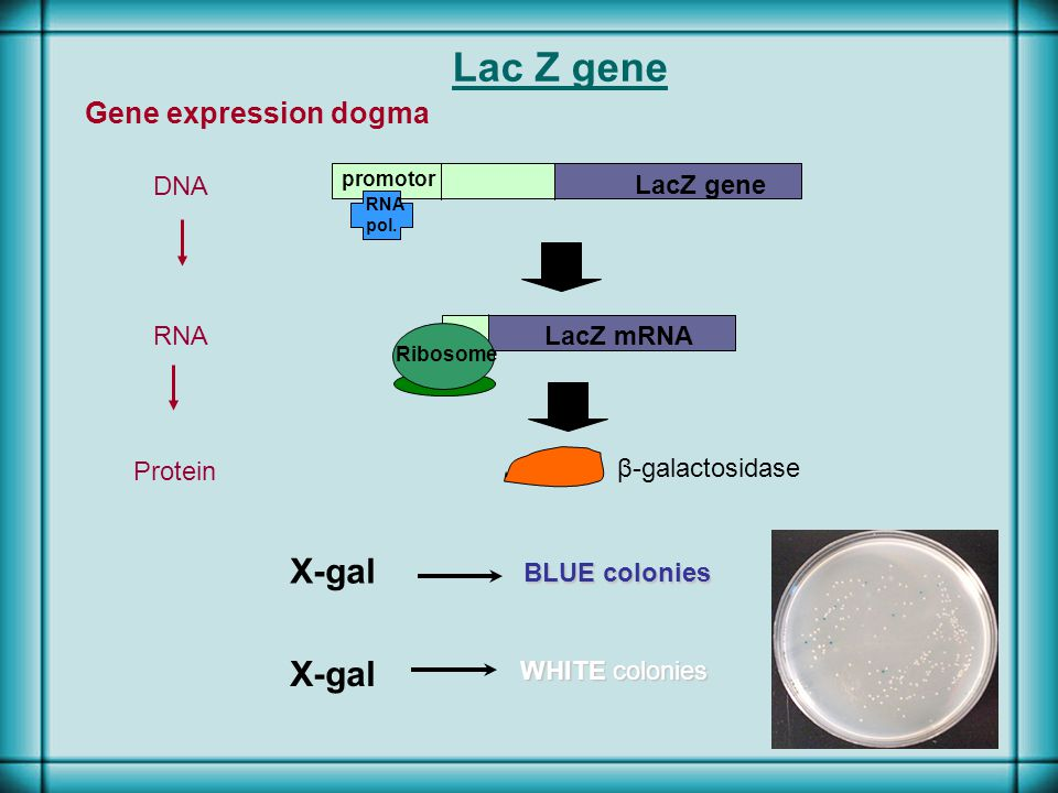 Lac Z gene promotor RNA pol. Gene expression dogma DNA LacZ mRNA Ribosome β-galactosidase RNA Protein X-gal BLUE colonies WHITE colonies X-gal