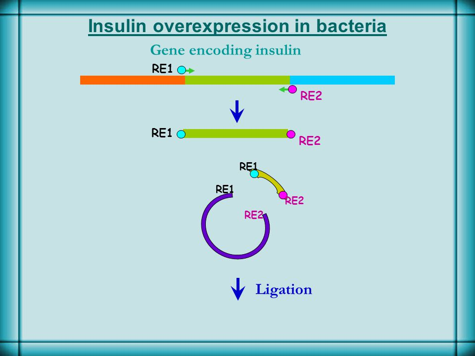 Insulin overexpression in bacteria Gene encoding insulin Ligation RE1 RE2 RE1 RE2 RE1 RE2