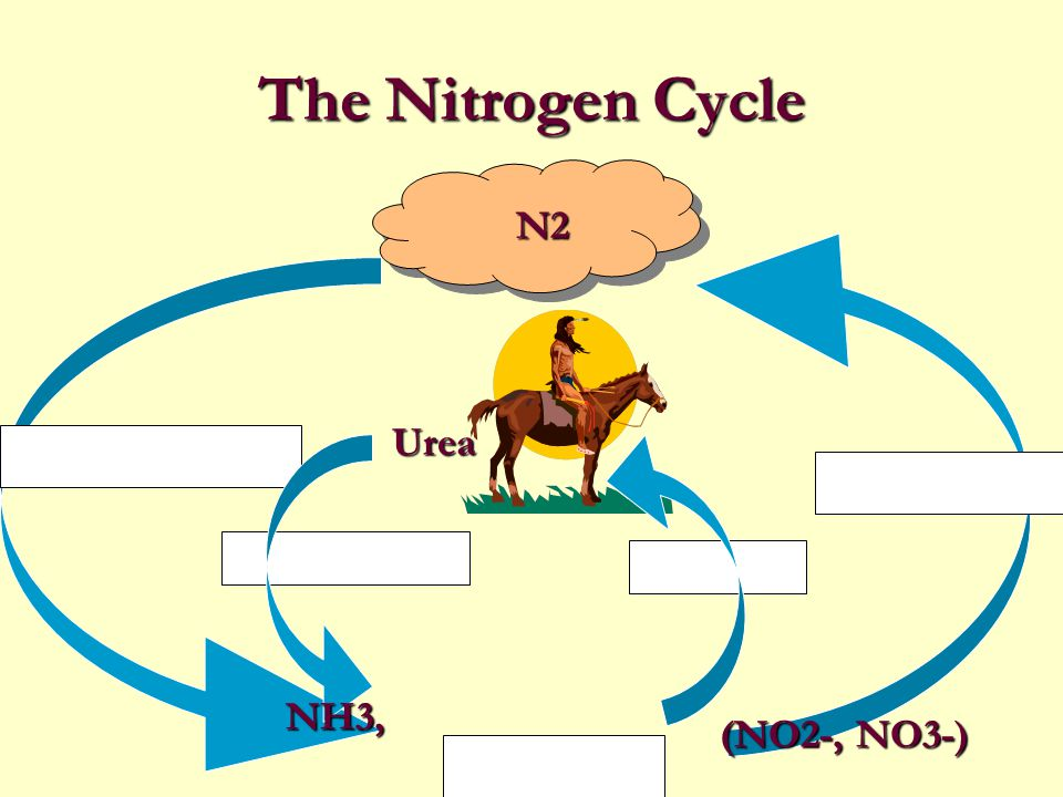 Nitrogen Cycle In this cycle, nitrogenous wastes and the remains of dead organisms are converted by decomposers and soil bacteria into compounds that can be used by autotrophs.