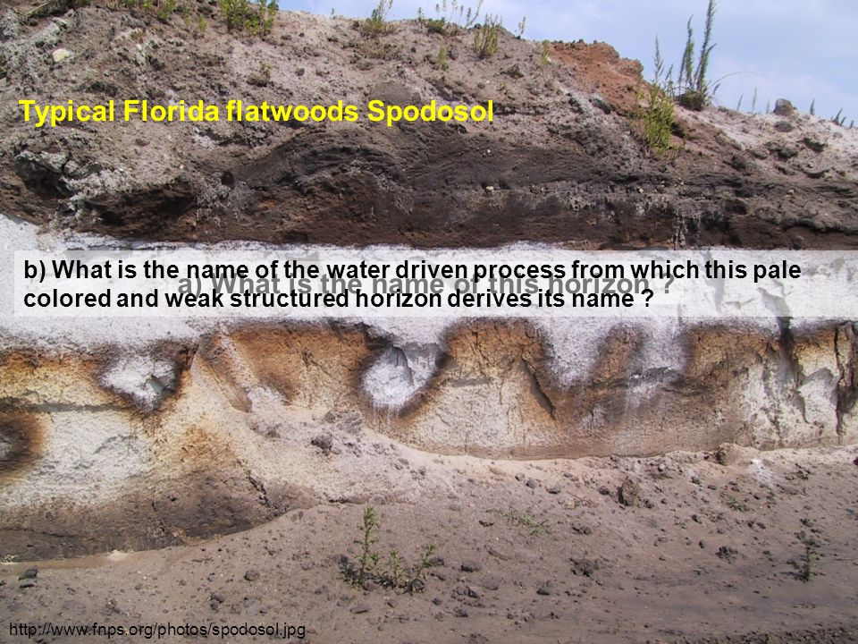 http://www.fnps.org/photos/spodosol.jpg Typical Florida flatwoods Spodosol a) What is the name of this horizon .