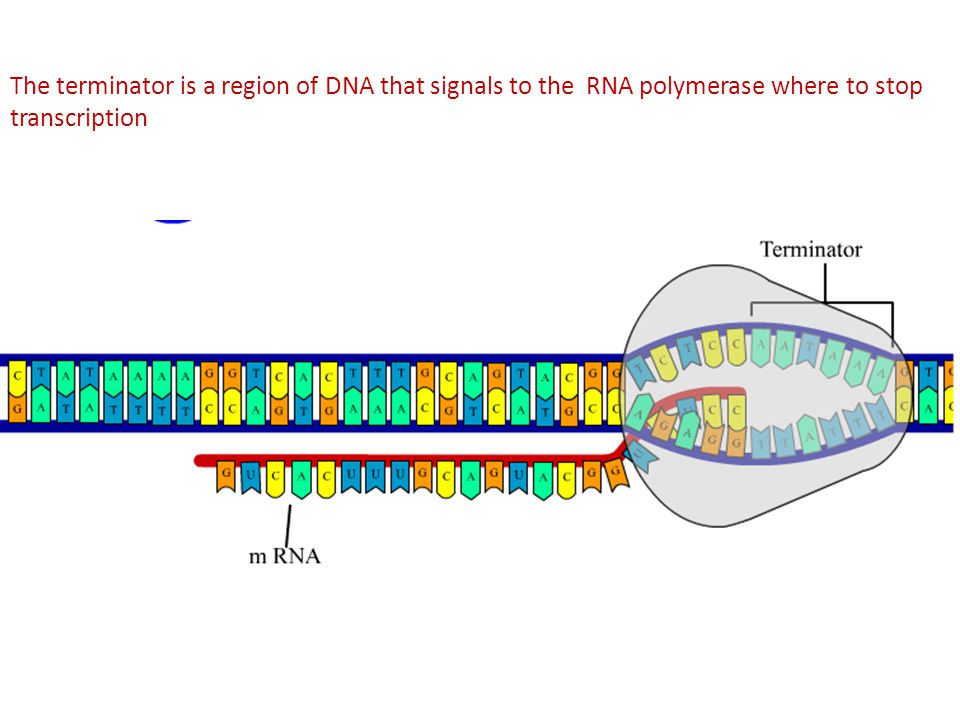 The terminator is a region of DNA that signals to the RNA polymerase where to stop transcription