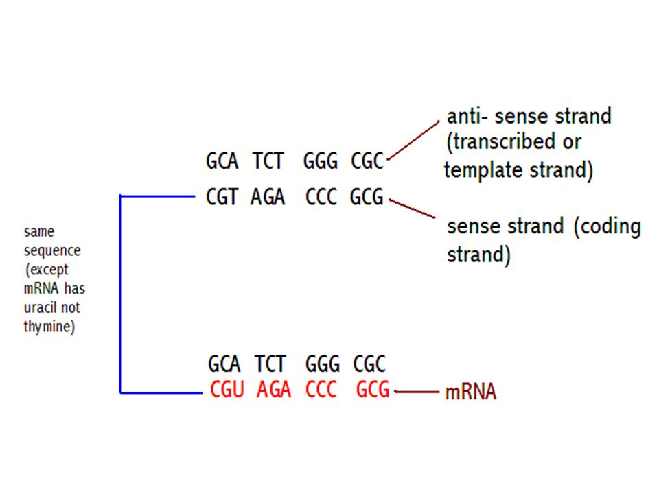 How many different mRNA codons can we make with adenine (A), uracil (U), guanine (G) and cytosine (C).