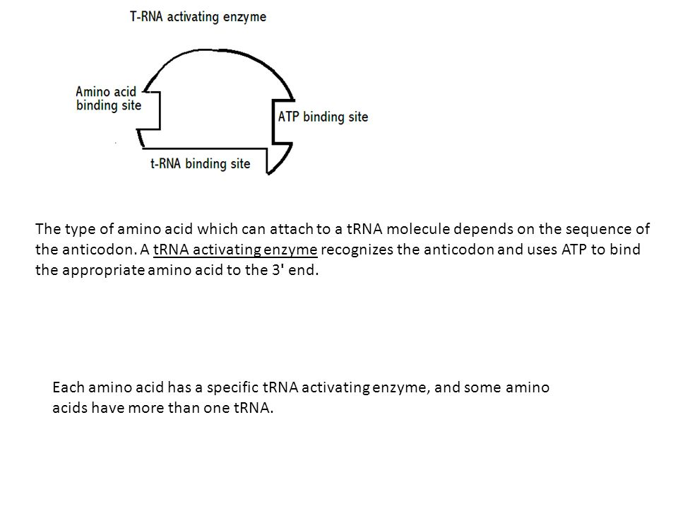 Each amino acid has a specific tRNA activating enzyme, and some amino acids have more than one tRNA.