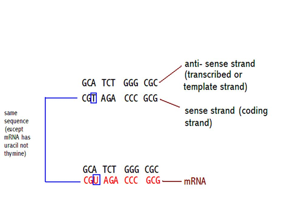 A mRNA transcript has the codon sequence of bases UUG GCA AUG CUC UUU What is the complementary anticodon sequence?