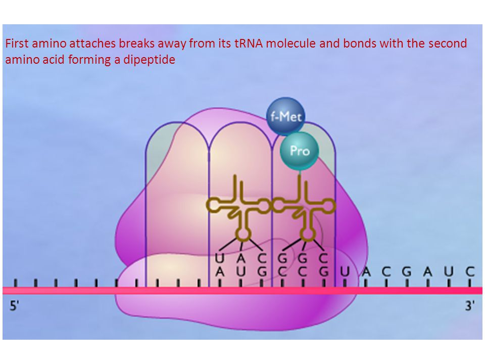 First amino attaches breaks away from its tRNA molecule and bonds with the second amino acid forming a dipeptide