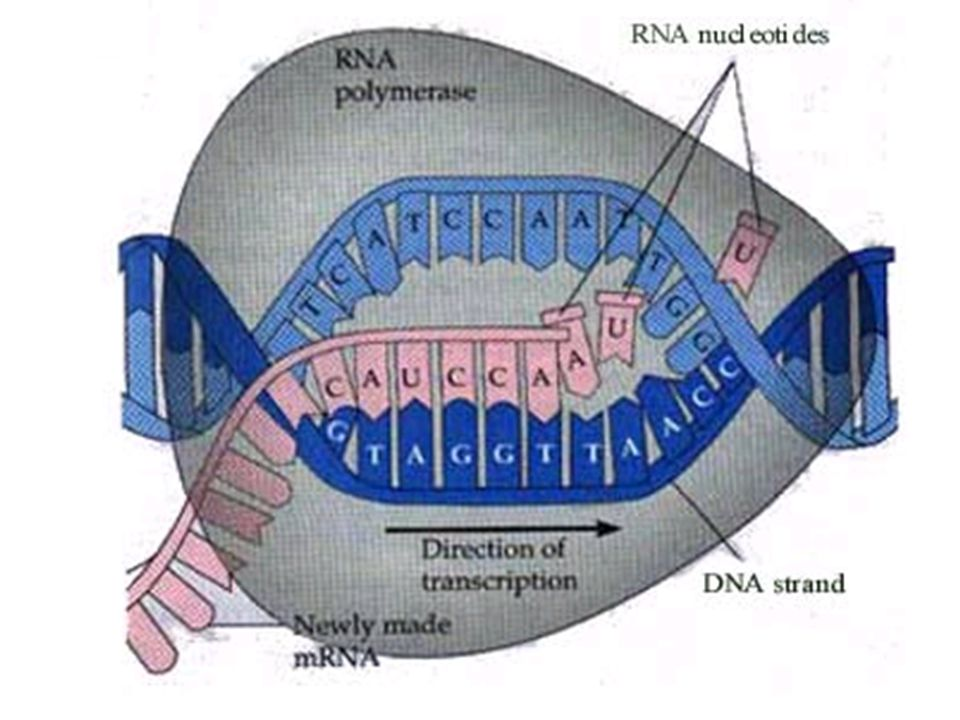 IB Question: Explain the process of transcription in eukaryotes.[8] N08/4/BIOLO/HP2/ENG/TZ0/XX+ DNA (sequence) is copied to (m)RNA; DNA separated; RNA polymerases separate the strands; only one strand is copied/transcribed / antisense strand is transcribed; RNA polymerase binds to promoter/initiation region (of template strand); ATP provides energy for attachment; nucleotides exist as nucleotide triphosphates; removal of phosphates (2) from nucleotide triphosphates provides energy for linkage; RNA polymerase catalyses the formation of the polymer / helps the nucleotides join; (m)RNA lengthens in 5 to 3 direction; RNA polymerase reaches terminator on DNA to stop transcription process; mRNA is separated from DNA; [8 max]