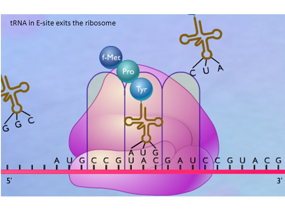 tRNA in E-site exits the ribosome