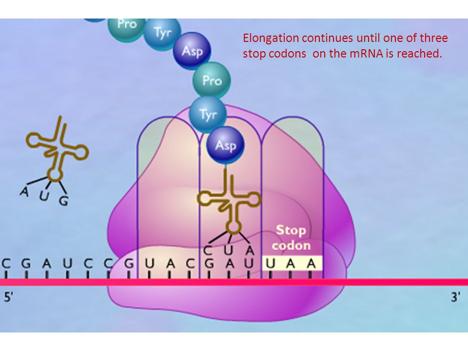 Elongation continues until one of three stop codons on the mRNA is reached.