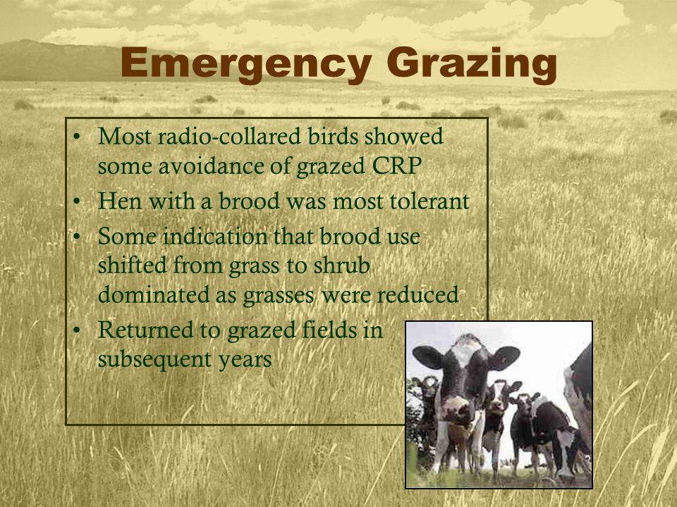 Emergency Grazing Most radio-collared birds showed some avoidance of grazed CRP Hen with a brood was most tolerant Some indication that brood use shifted from grass to shrub dominated as grasses were reduced Returned to grazed fields in subsequent years