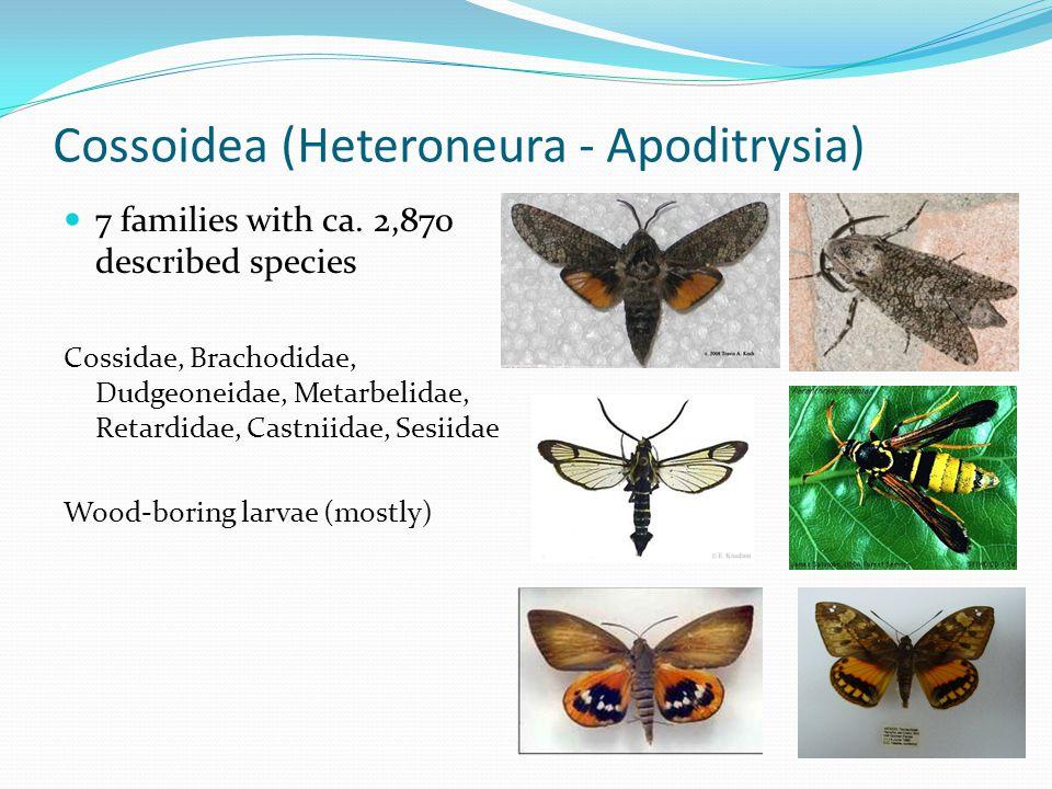 Cossoidea (Heteroneura - Apoditrysia) 7 families with ca.