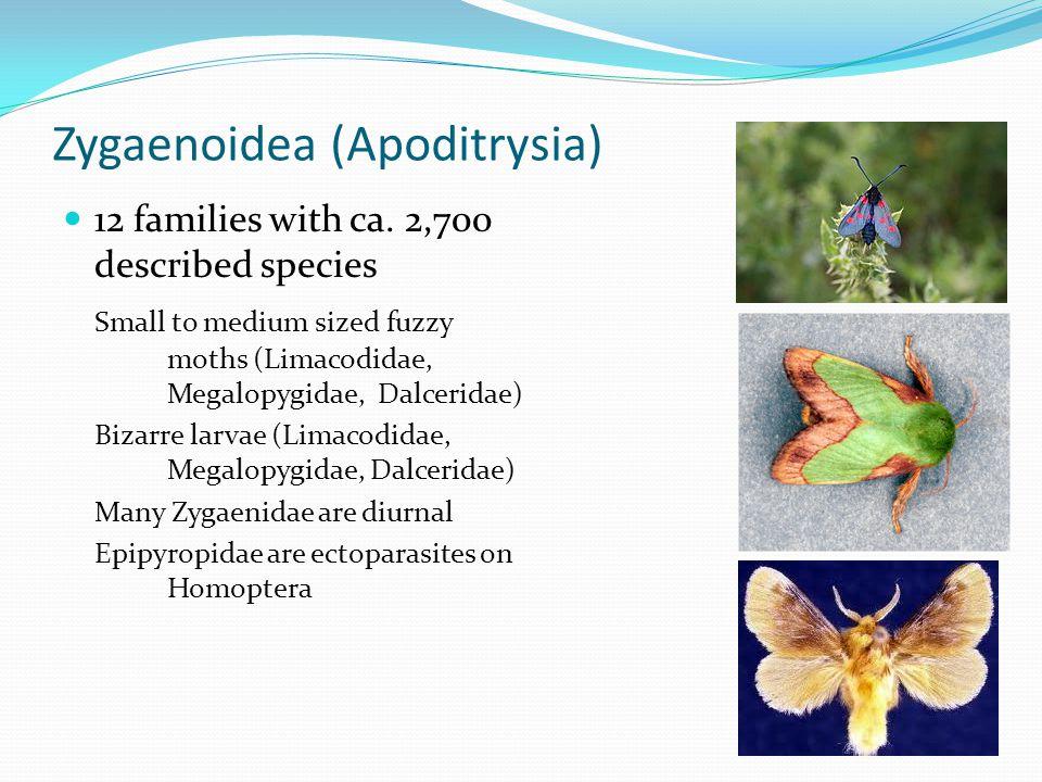 Zygaenoidea (Apoditrysia) 12 families with ca.