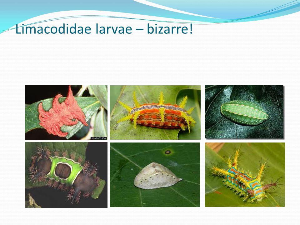 Limacodidae larvae – bizarre!