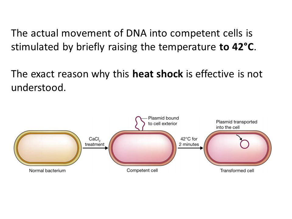 The actual movement of DNA into competent cells is stimulated by briefly raising the temperature to 42°C. The exact reason why this heat shock is effe
