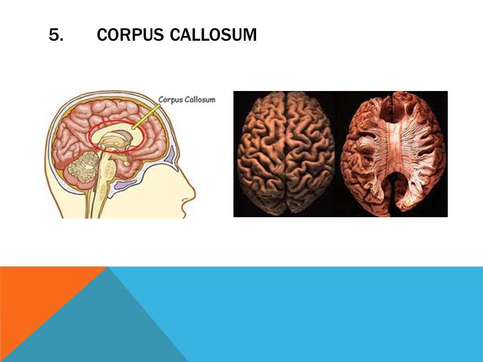 5.CORPUS CALLOSUM