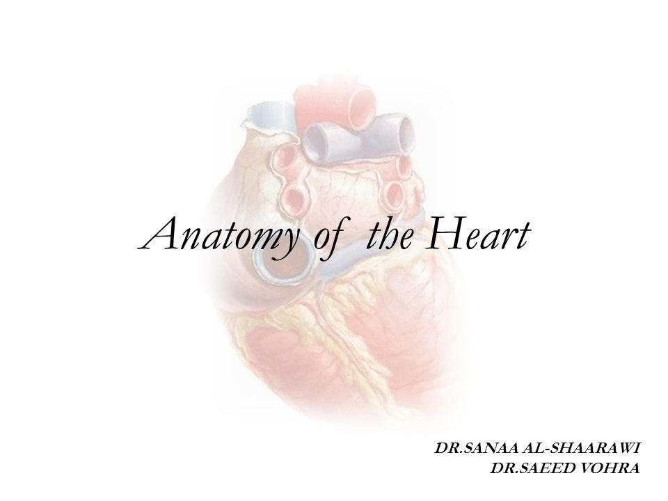 Left atrio-ventricular (mitral) orifice Smaller than the right, admitting only tips of 2 fingers.