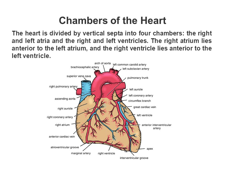 The heart is divided by vertical septa into four chambers: the right and left atria and the right and left ventricles. The right atrium lies anterior