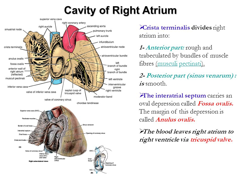 Cavity of Right Atrium  Crista terminalis divides right atrium into: 1- Anterior part: rough and trabeculated by bundles of muscle fibres (musculi pe