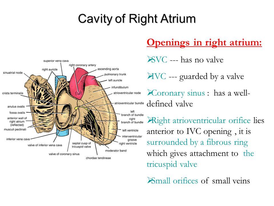 Cavity of Right Atrium Openings in right atrium:  SVC --- has no valve  IVC --- guarded by a valve  Coronary sinus : has a well- defined valve  Ri