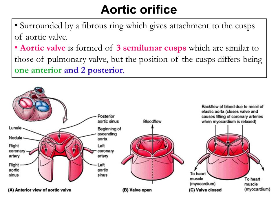 Aortic orifice Surrounded by a fibrous ring which gives attachment to the cusps of aortic valve. Aortic valve is formed of 3 semilunar cusps which are