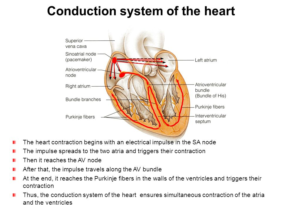 The heart contraction begins with an electrical impulse in the SA node The impulse spreads to the two atria and triggers their contraction Then it rea