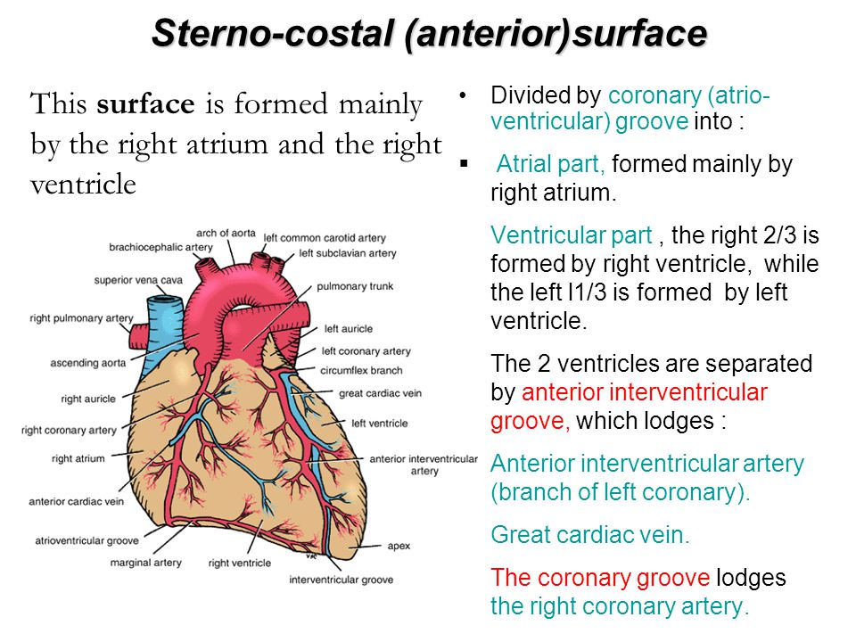 Sterno-costal (anterior)surface The marginal branch of right coronary artery runs along the inferior borderThe marginal branch of right coronary artery runs along the inferior border The funnel-shaped part of right ventricle just below pulmonary trunk is called infundibulumThe funnel-shaped part of right ventricle just below pulmonary trunk is called infundibulum