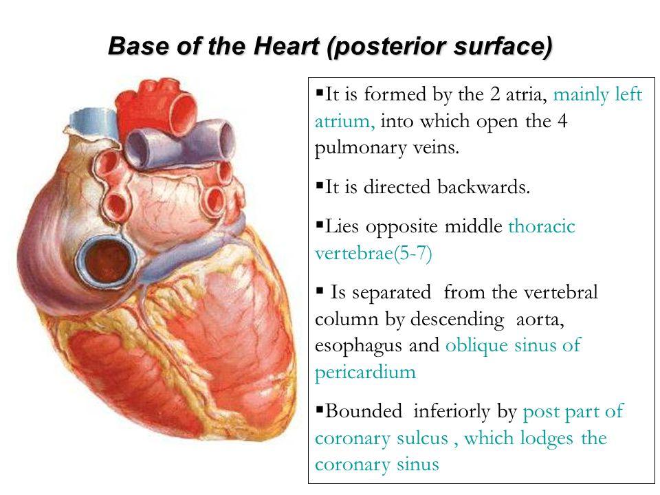 Borders of the Heart Upper border:Upper border: Is formed by the 2 atria.Is formed by the 2 atria.