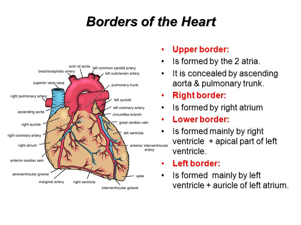 Borders of the Heart Upper border:Upper border: Is formed by the 2 atria.Is formed by the 2 atria. It is concealed by ascending aorta & pulmonary trun