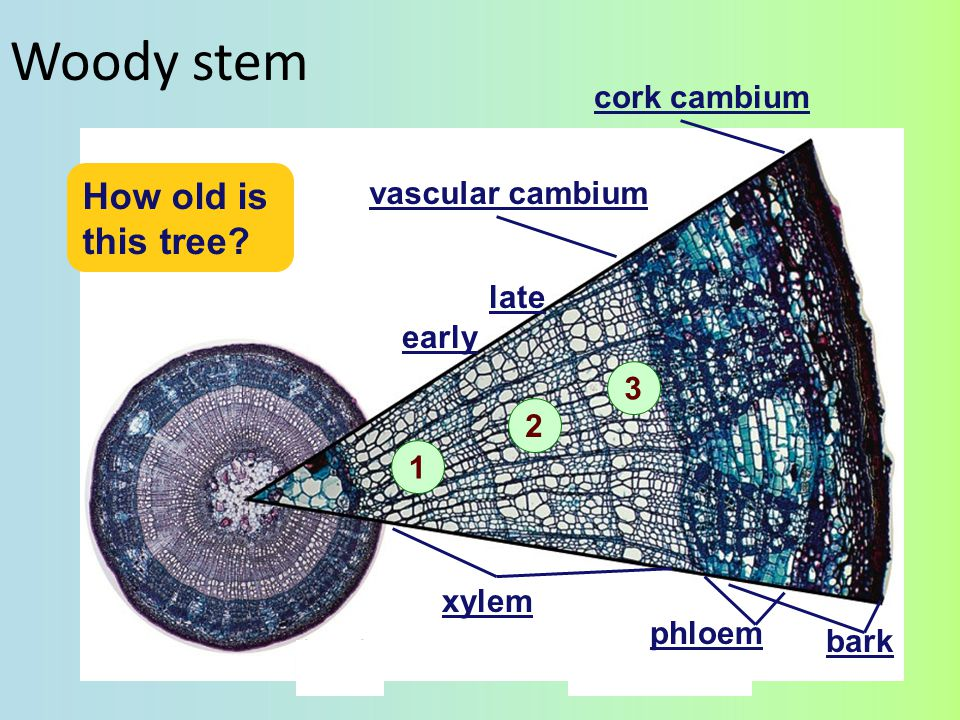 Vascular cambium last year's xylem early late phloem bark Phloem produced to the outside Xylem produced to the inside cork cambium vascular cambium xylem Why are early & late growth different?