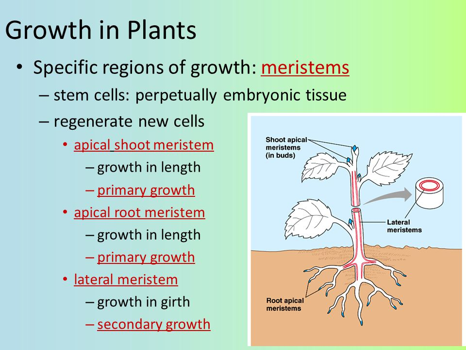 Growth in Animals Animals grow throughout the whole organism – many regions & tissues at different rates