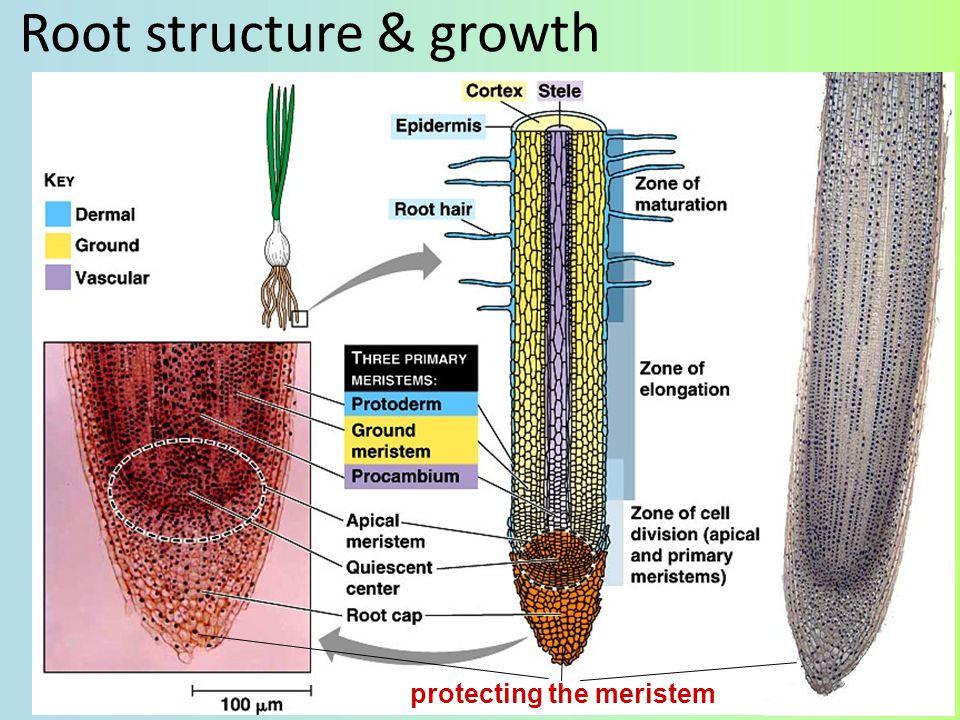 Apical meristems shootroot